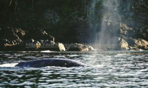nootka sound gray whale